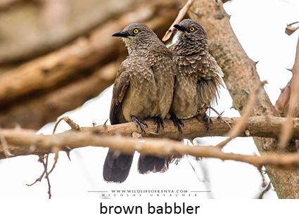 Brown Babbler