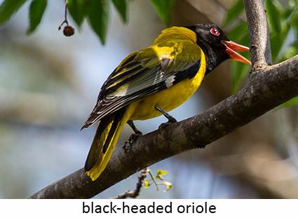 Black-headed oriole