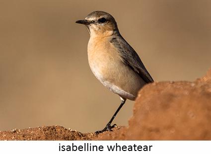 Wheatear isabelline