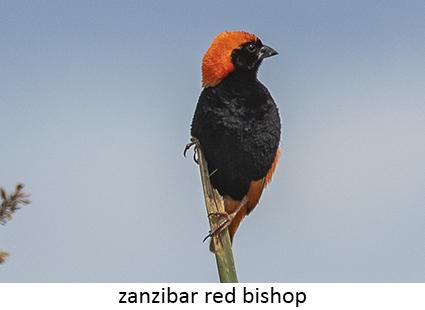 Zanzibar red Bishop