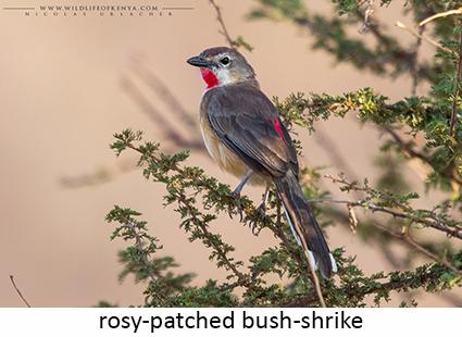 Rosy-patched Bush-shrike