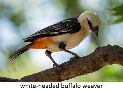 White-headed buffalo weaver