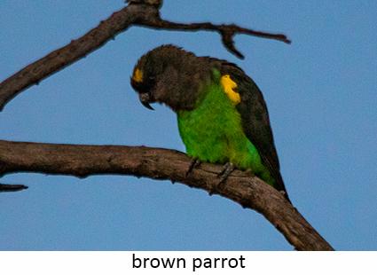 Brown Parrot