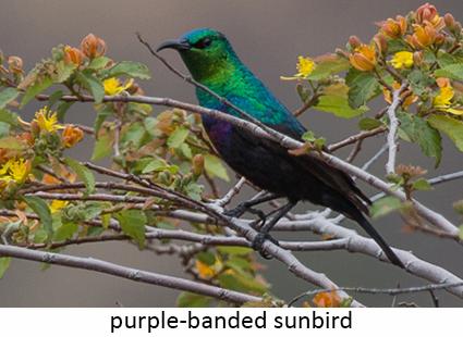 Purple-banded sunbird