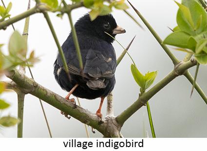 Village Indigobird