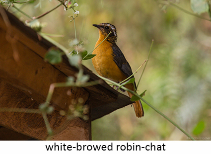 White-browed robin-chat