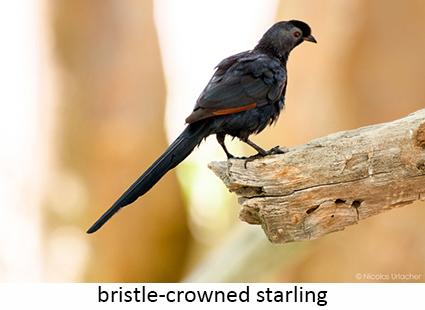 Bristle-crowned starling