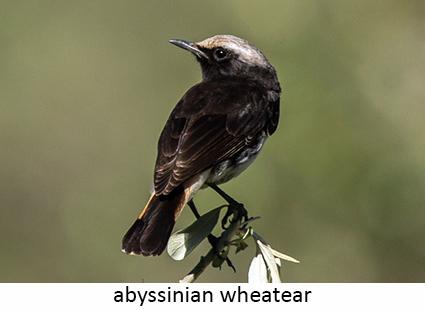 Abyssianian wheatear