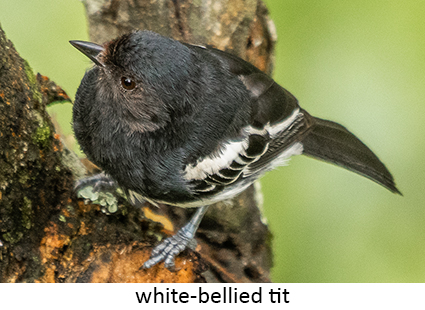 White-bellied Tit