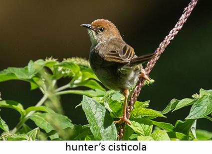 Hunter's cisticola