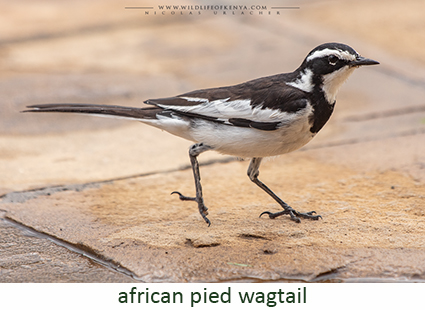 African ¨Pied Wagtail