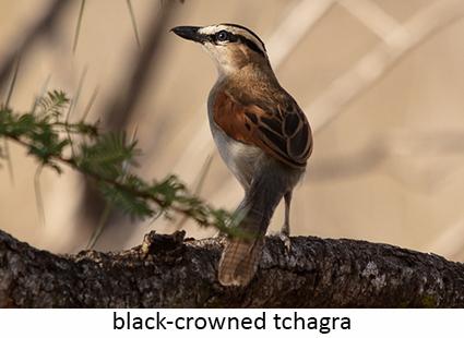 Black-crowned thagra