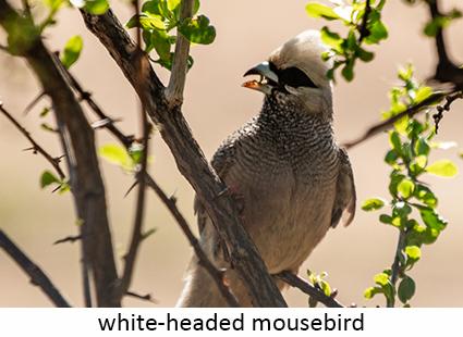 White-headed Mousebird