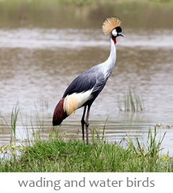 wading and water birds of Kenya