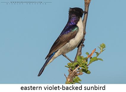 Eastern Violet-backed Starling