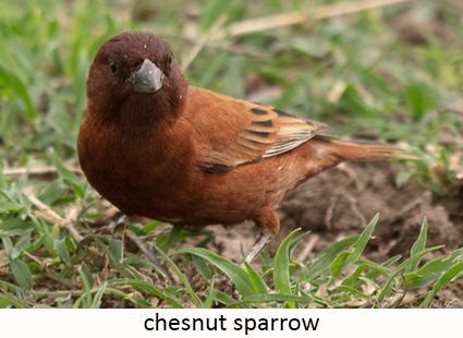 Chesnut sparrow