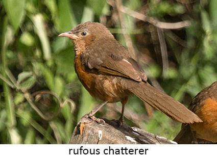 Rufous Chatterer