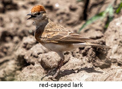 Red-capped lark