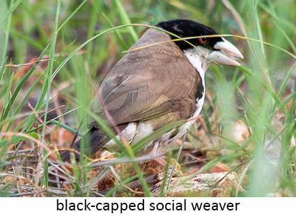 Black-capped social weaver