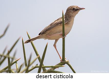 Desert Cistiola