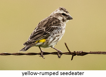 Yellow-rumped seedeater