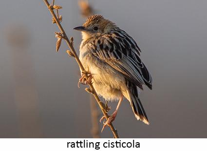 Rattling cisticola