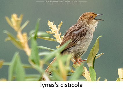 Lynes's Cisticola