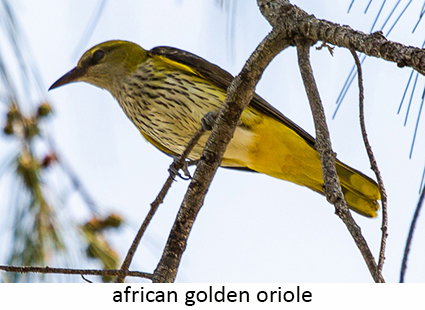 African golden oriole