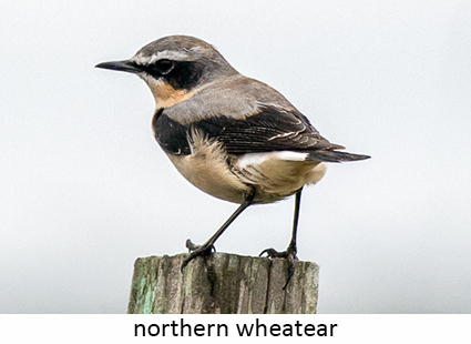 Northern wheatear