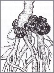 図2 根の生え際にこぶを作る病気の病原体である土壌細菌こそ、植物の遺伝子工学を生んだ