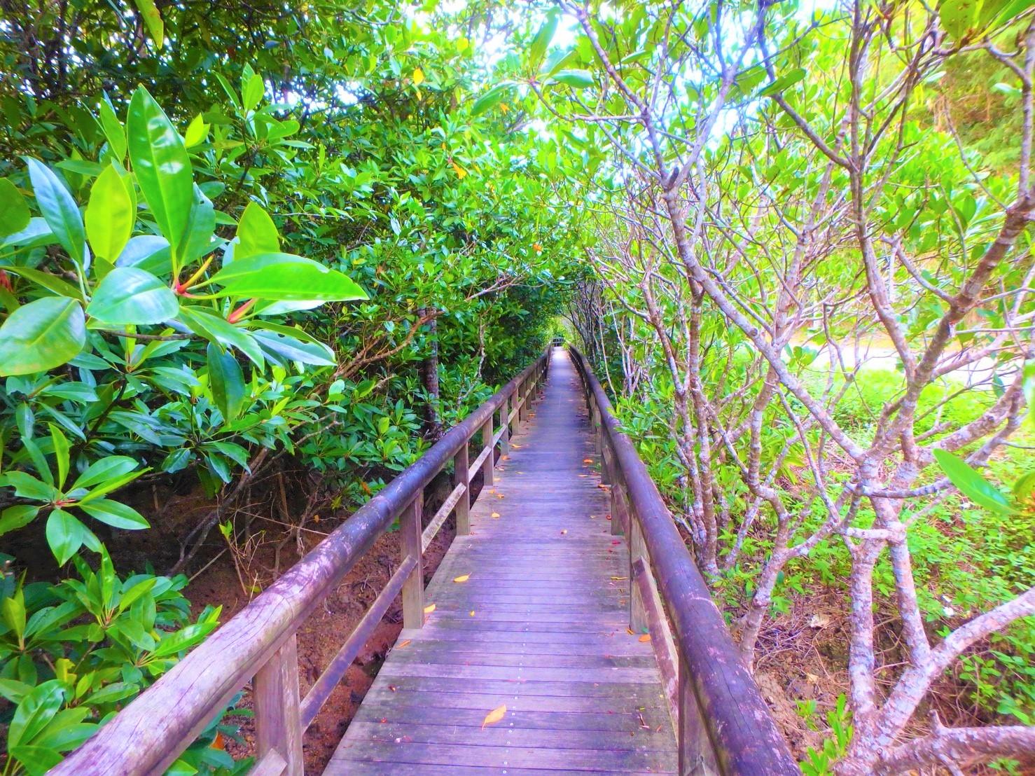 マングローブでは、遊歩道を歩いていきます。