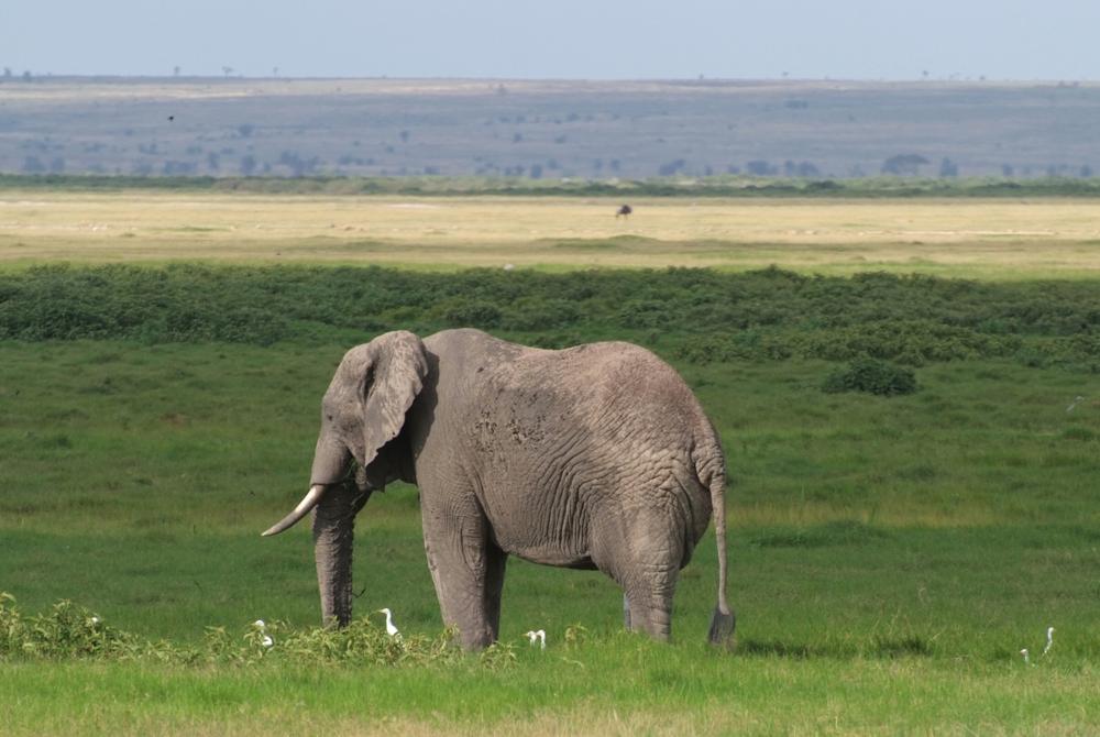 Elefantenbulle umringt von weißen Vögeln