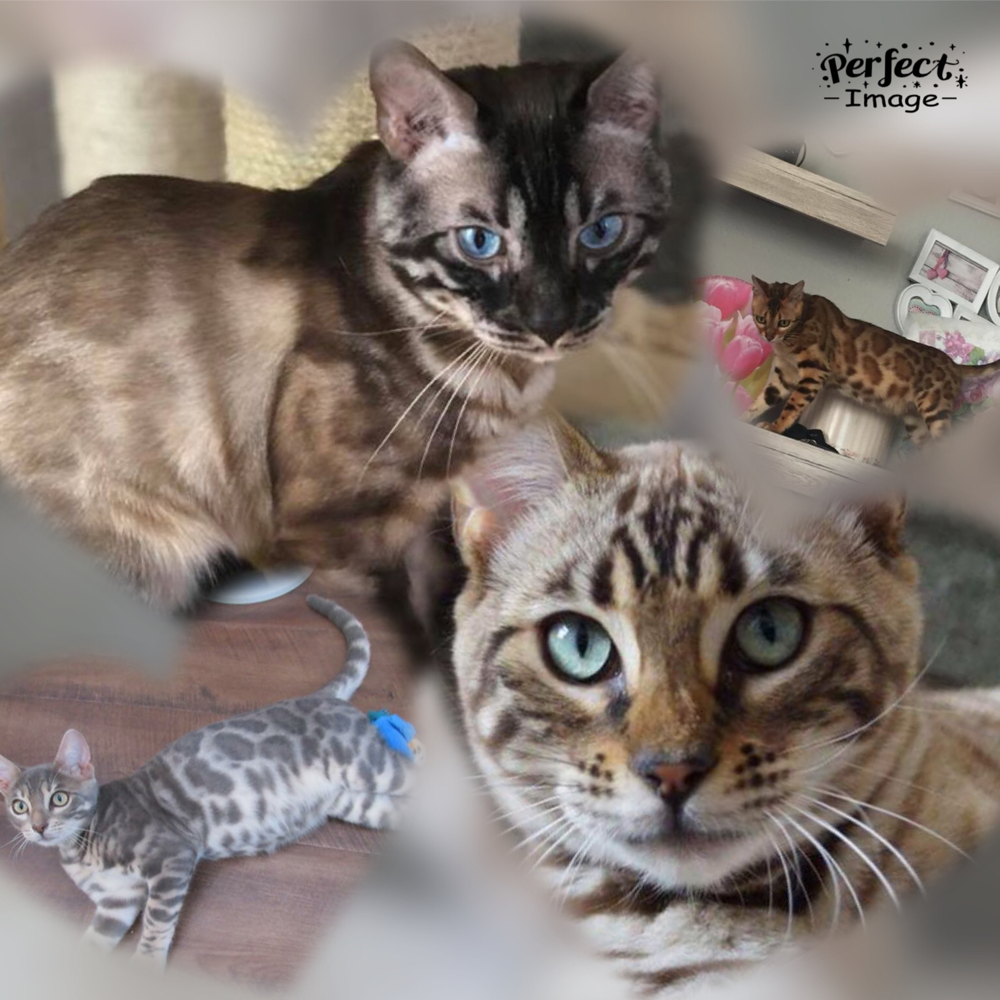 Startseite - bengalcattery-of-royalleopardss Webseite!