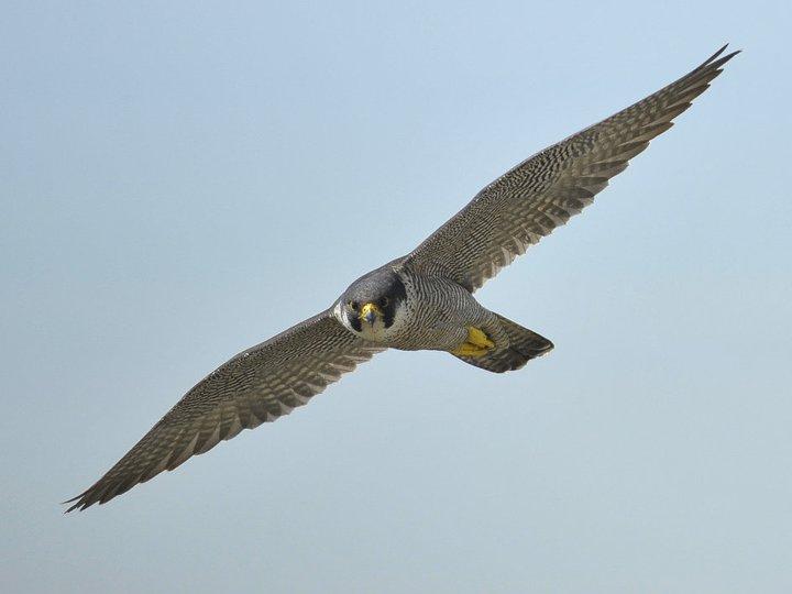 Wanderfalke im Flug. Foto Bernd Petri