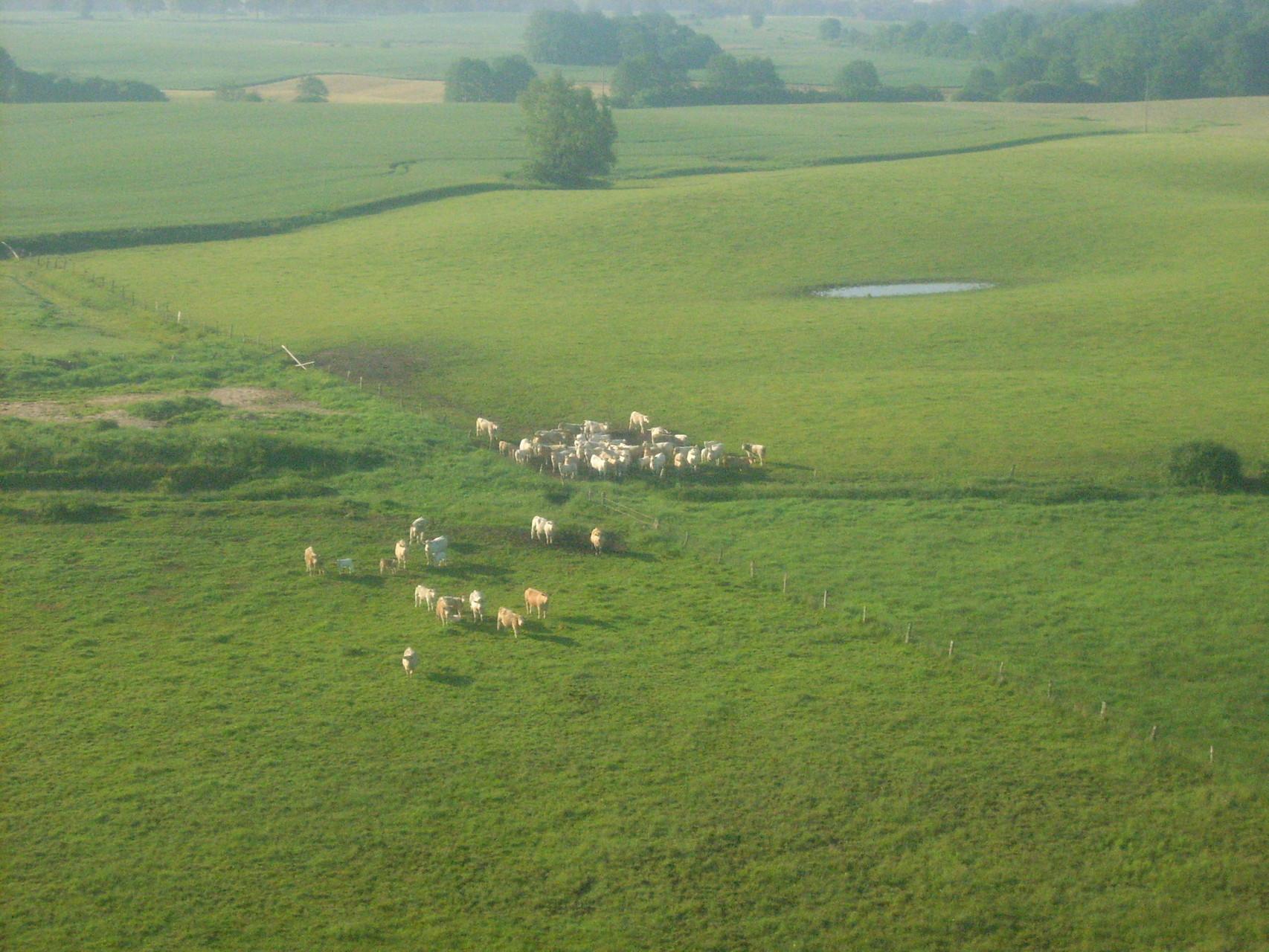 Rinderherde auf der Weide