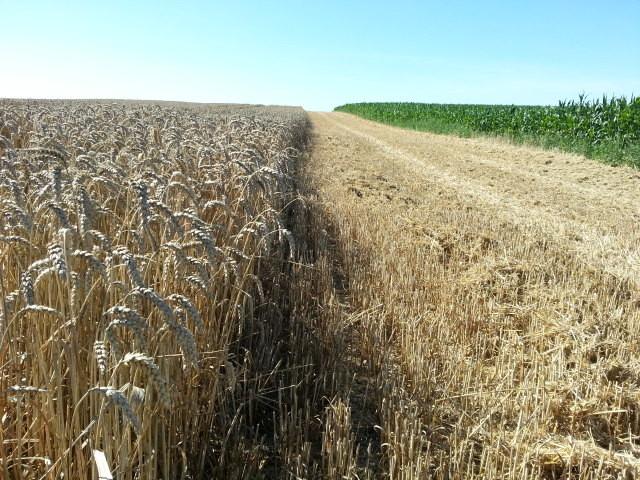 Der Weizen kurz vor der Ernte
