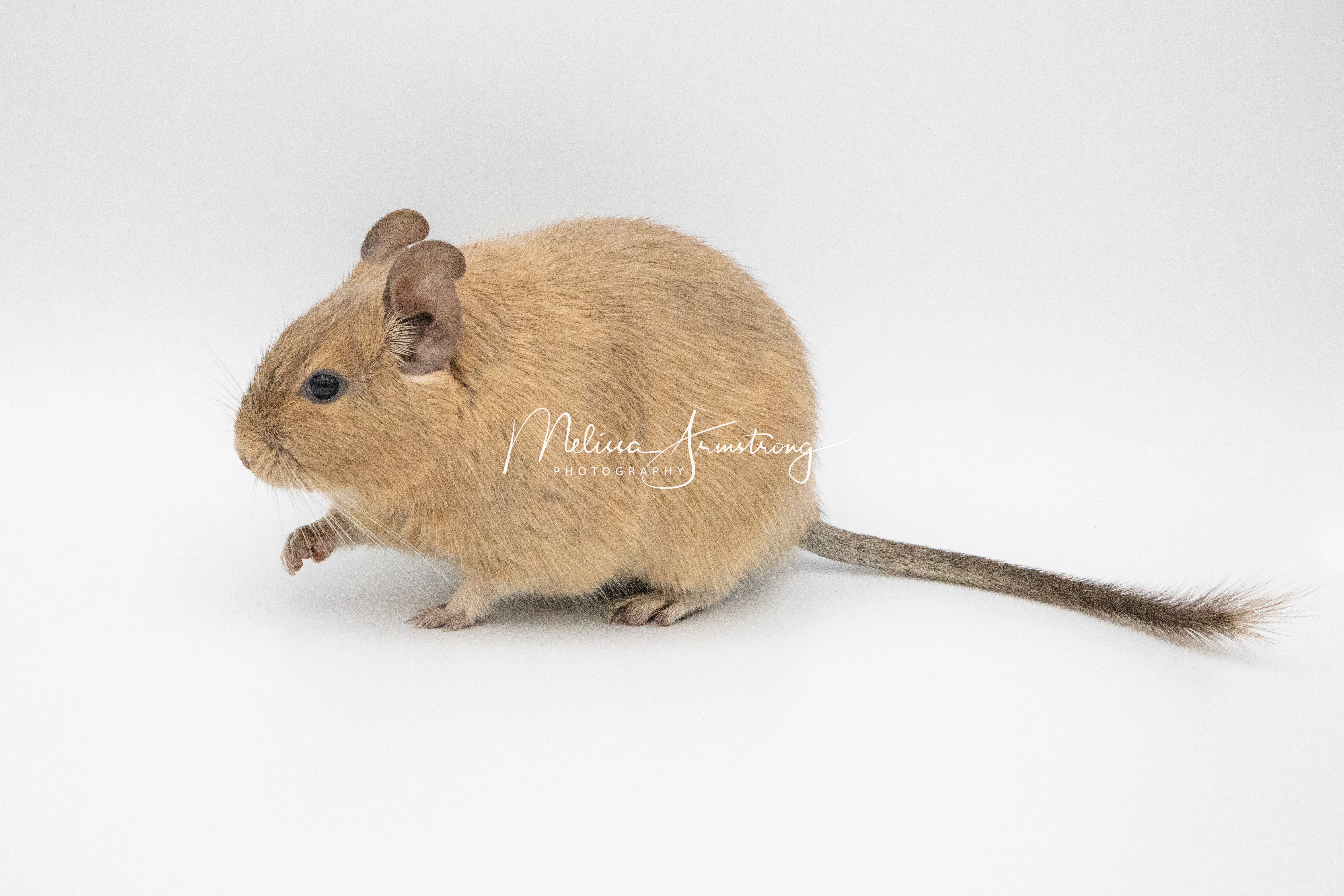 Degu Sandsuperscheckin BT Weibchen - Freya