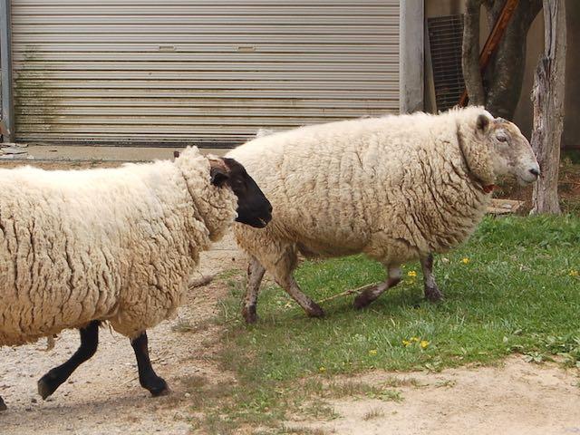 羊やヤギたちもあちこち歩き回っています。