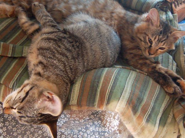 ミーシャの新しい子供トラとサクラです。