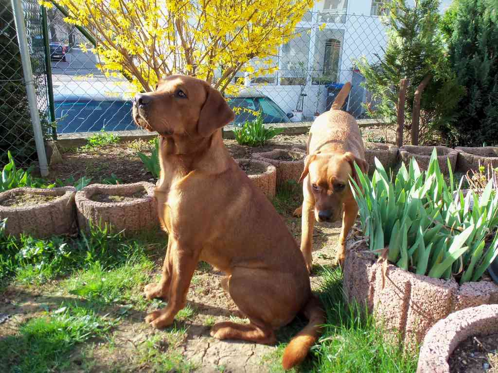 Frühlingsgefühle - unser Fox-Pärchen unterm Forsythien-Busch.