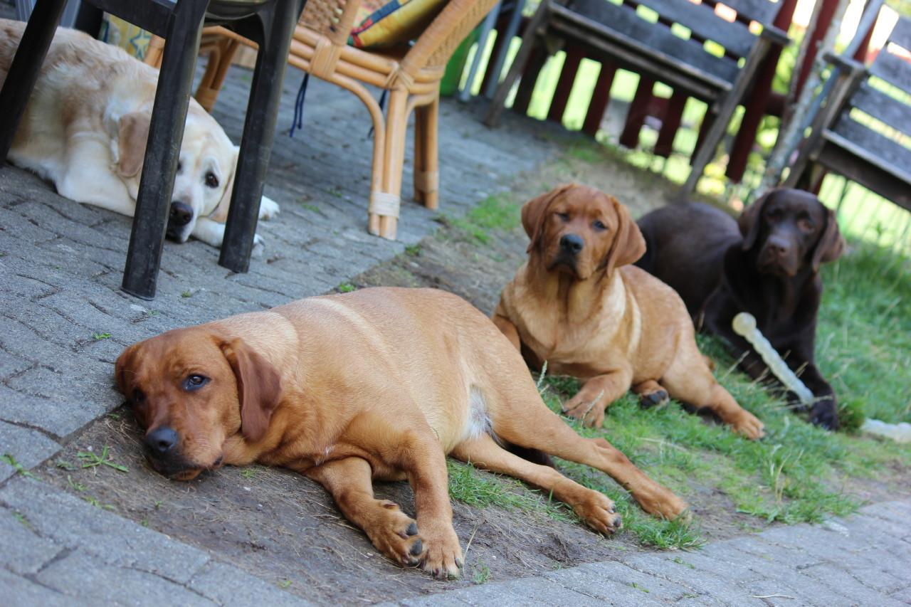 Polonaise-Hunde