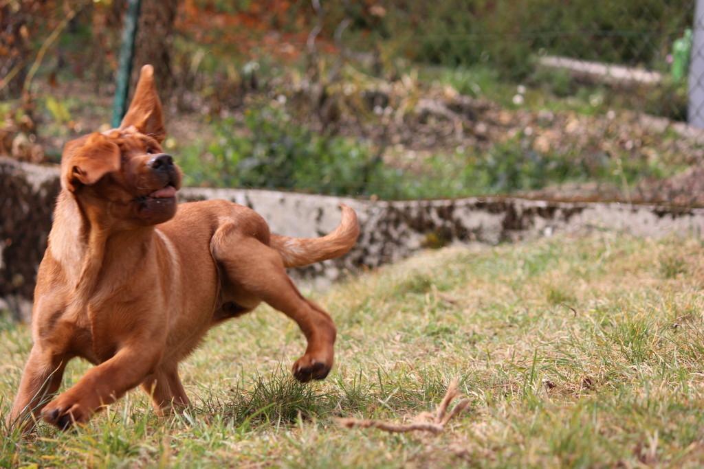 Die Ohren zeigen immer an, wohin man läuft. Daher der Knoten in den Beinen.
