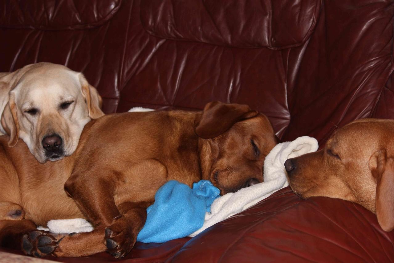 Irgendwann wird auch mal ein Labbi müde: Bounty, Jonny und Summer.