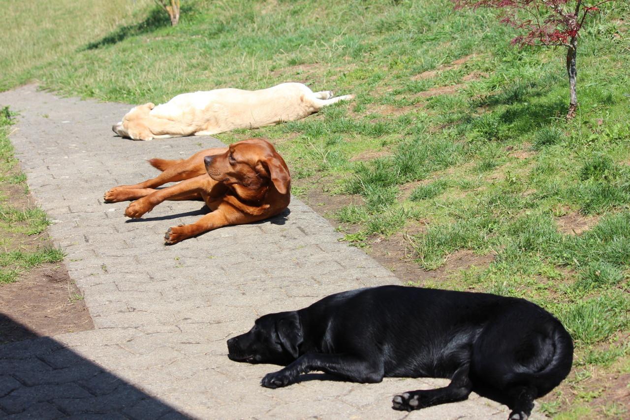 platt-Hunde