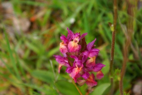 Orchidée-sauvage
