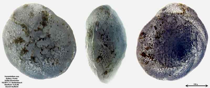 Bild 4 Foraminiferen aus Sand von Punta Sottile. Gattung: Elphidium sp.