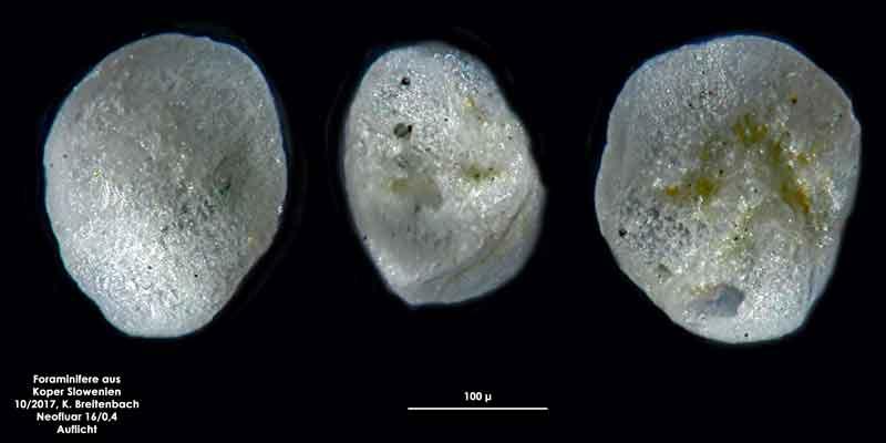 Bild 22 Foraminifere aus Koper/Slowenien Art: wurde von mir nicht bestimmt