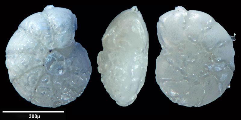 """Bild 9 Foraminifere aus Sand vom Lido in Venedig. Gattung: Ammonia sp, Koordinaten: 45°24'49.1""""N 12°22'42.0""""E"""
