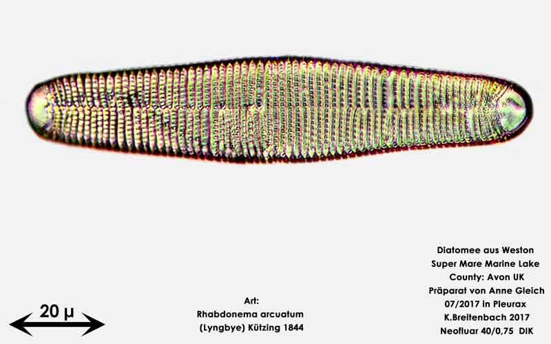 Bild 35 Diatomeen aus Weston Super Mare, UK; Art: Rhabdonema arcuatum (Lyngbye) Kützing 1844