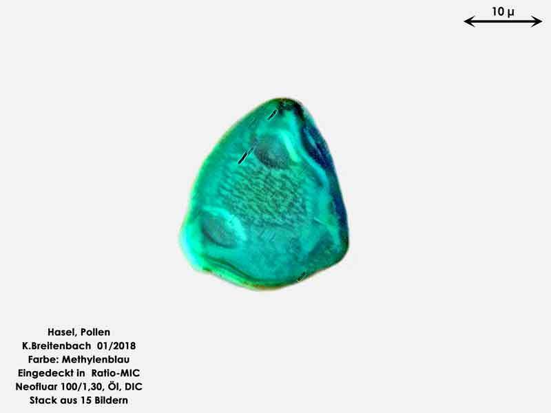Bild 11 Hasel-Pollen Methylenblau gefärbt in Ratio-MIC 1000 fach vergrößert